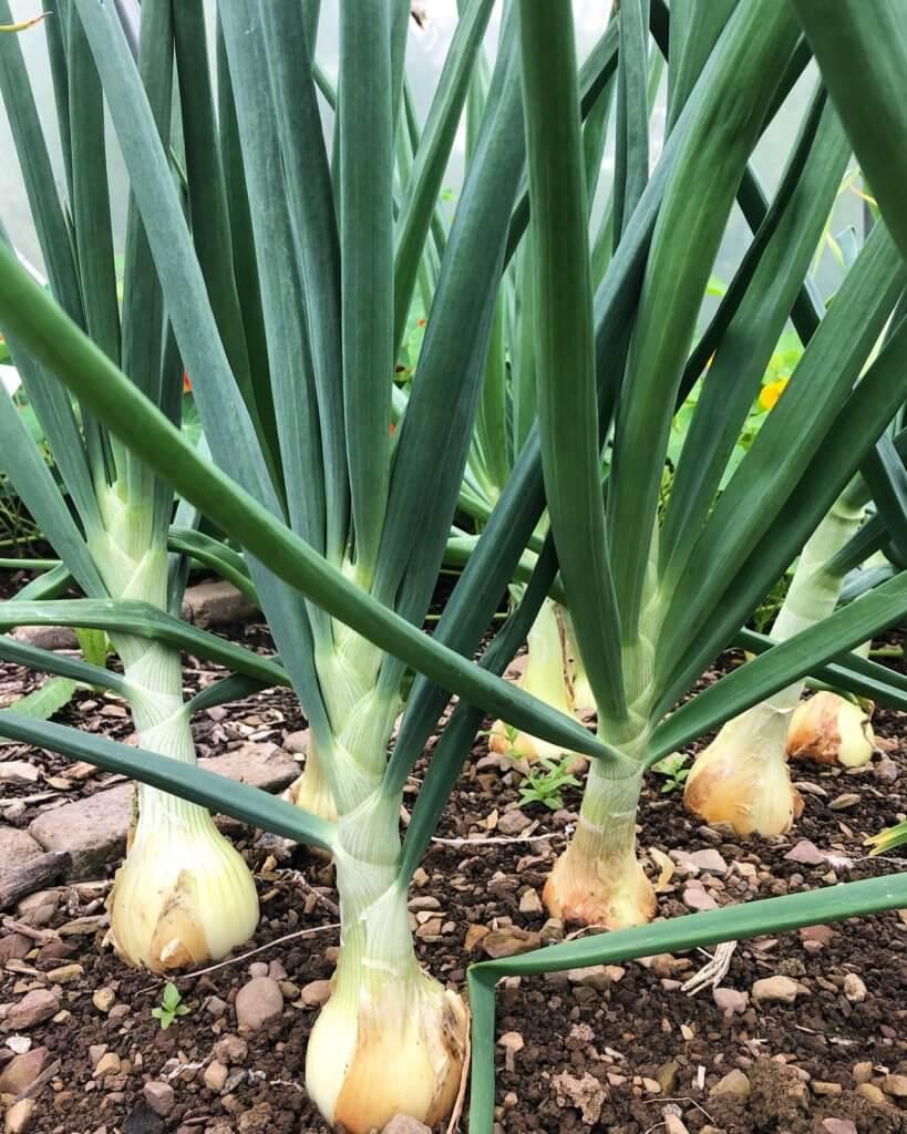 Onions from Niche Garden